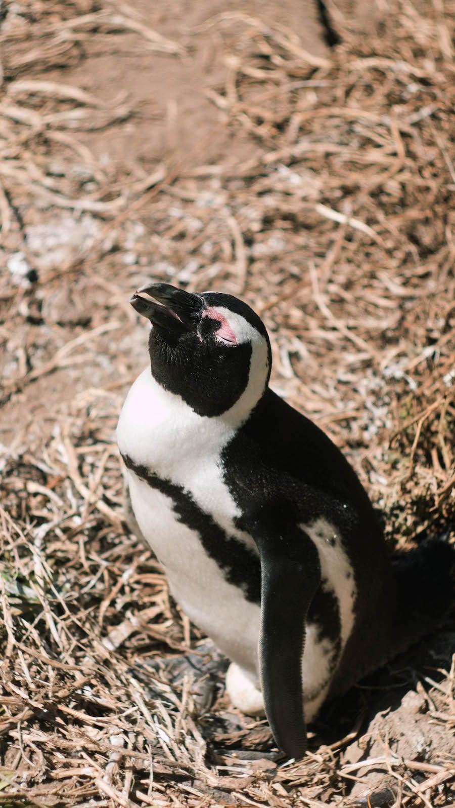 Pingwiny wRPA